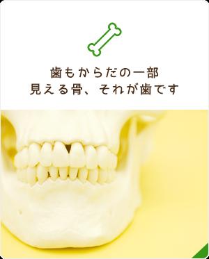 歯をからだの一部見える骨、それが歯です